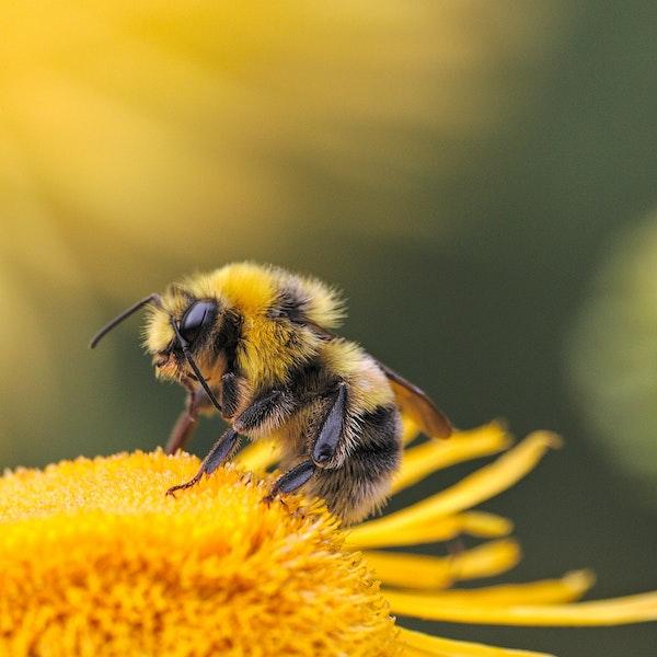 bee api apicoltura