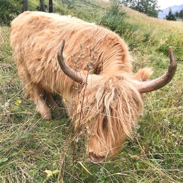 mucca delle Highlands scozzesi libera